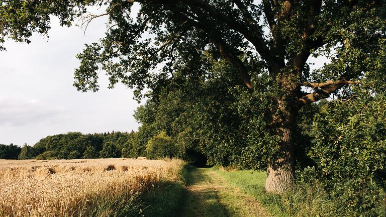Feldweg am Waldrand Kornfeld alte Bäume im Sommer