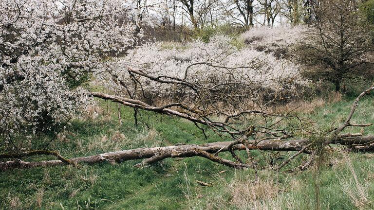 Frühlingslandschaft blühende Hartriegel